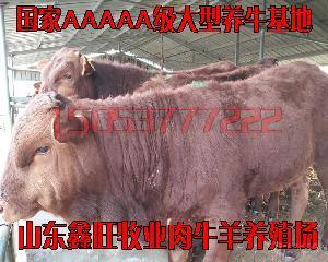 广东养牛品种售价