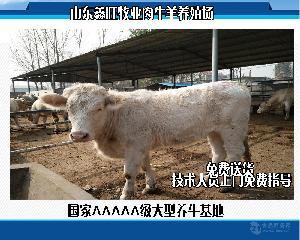 鲁西黄肉牛毛肉牛价格