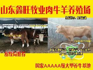 育肥种牛价格种牛崽价格