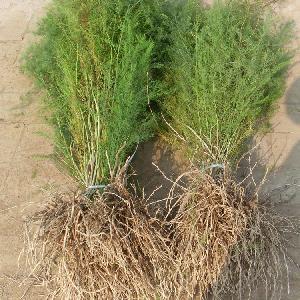优质芦笋种苗种子 多年生盆栽四季种植 高产 抗病强