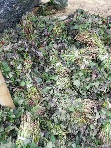红薯苗培育基地 红薯苗价格龙薯九号红薯苗价格