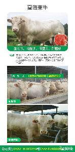 改良肉牛价位