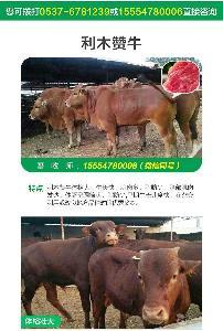 哪里购买牛犊