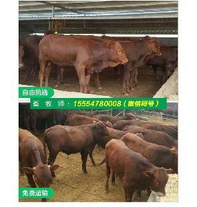 肉牛犊品种