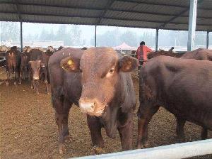 西门塔尔肉牛犊价格$养肉牛$西门塔尔牛牛犊价格