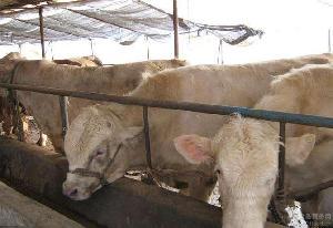 西门塔尔牛犊销售电话$西门塔尔肉牛犊价格