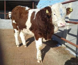 今日小牛犊多少钱一头$育肥牛犊价格$肉牛价格
