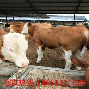 利木赞牛牛犊价格