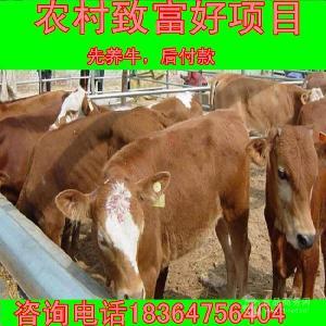 大约300斤小牛近期价格河南郑州