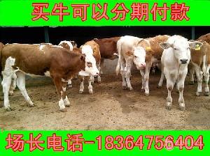 江苏省4个月利木赞牛近期价格