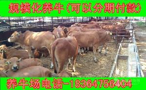 河南省大约300斤肉牛牛苗近期价格