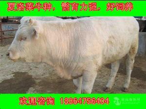 四川省大约200斤小肉牛批发价格