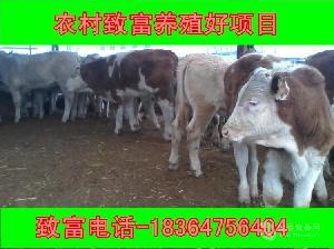 青海小牛犊多少钱一头包技术