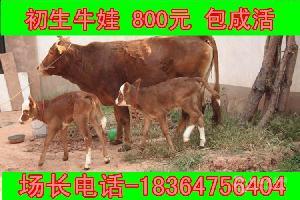 浙江育肥牛价格多少包技术