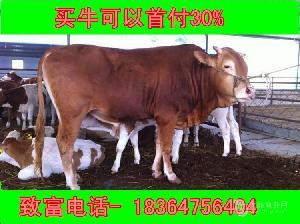 青海省大约200斤种公牛批发价格
