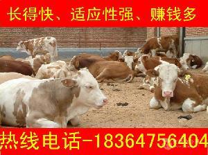 云南黄牛犊价格厂家直销