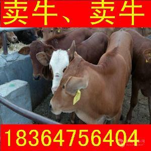 河南利木赞牛牛仔多钱圈养牛