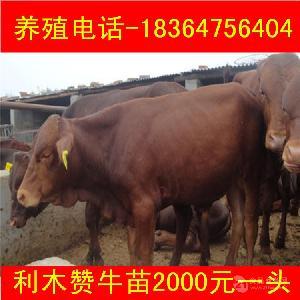 浙江出售的安格斯小牛犊价格多少