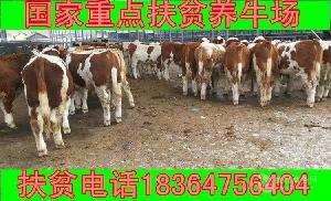 新乡鲁西黄牛小牛犊价格多少放养牛