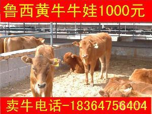 洛阳鲁西黄牛牛犊 价格科学养牛