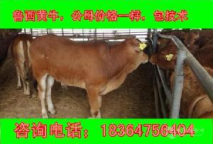 河南2018黄牛犊多少钱包技术