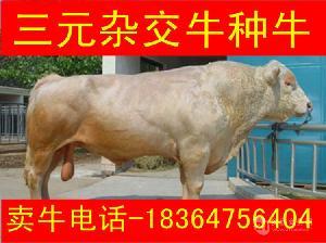 青海土黄牛犊现在的价格圈养牛