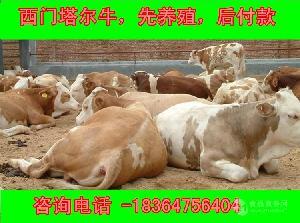 中国养牛基地哪里的牛品种好包技术