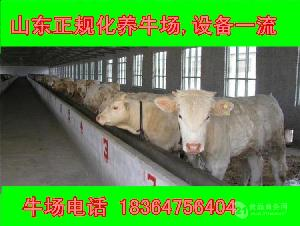 浙江小牛犊出售价格科学养牛
