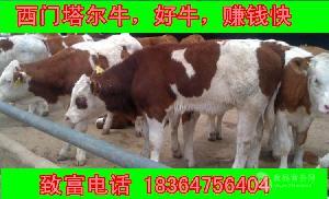 湖南省3个月黄牛种价格多少