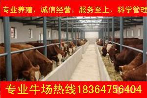 浙江鲁西黄牛犊的价格包技术