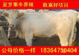 广东出售的利木赞牛小牛仔 贵吗科学养牛