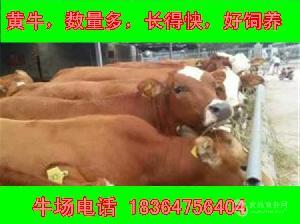 云南利木赞牛犊多少钱包技术