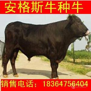 福建出售的西门塔尔牛牛苗贵吗科学养牛