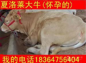 陕西省大约400斤肉牛牛苗近期价格