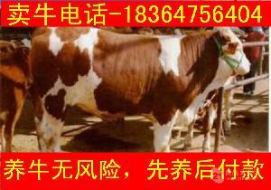 广东出售的小牛苗多钱放养牛