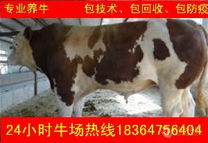 山东省半年改良种牛近期价格