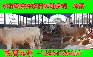 云南黄牛犊多钱厂家直销