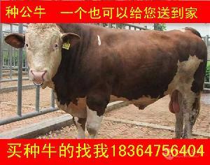 浙江架子牛育肥牛价格包技术