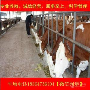 四川小种牛价格生态养牛