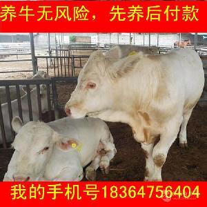 山东育肥牛犊价格包技术