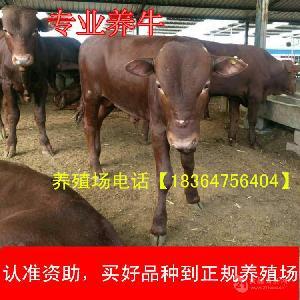 陕西省成年小牛犊近期价格