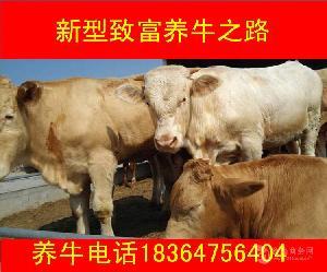 河南郑州大约400斤鲁西黄牛价格多少
