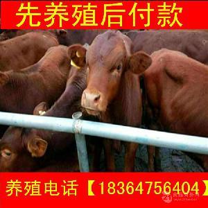 青海出售的利木赞牛多钱科学养牛