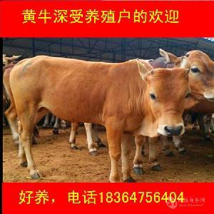 山东西门塔尔肉牛犊价格包技术