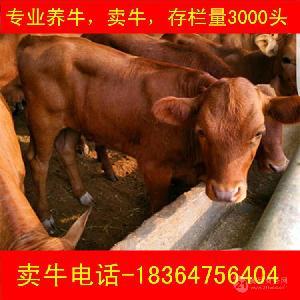 江苏西门塔尔牛养殖包技术