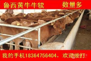 甘肃西门塔尔牛小牛犊贵吗放养牛