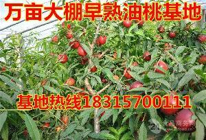 今日大棚油桃价格 大棚油桃批发价格一斤多钱?
