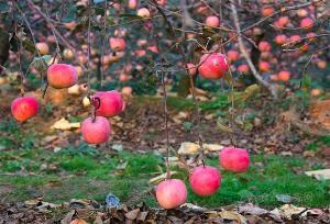山东潍坊早熟嘎啦苹果现在
