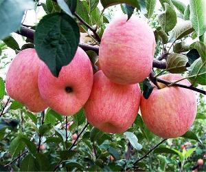 山东冷库苹果交易价格冷库苹果批发报价