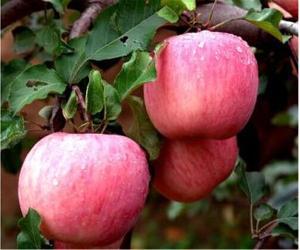 山东潍坊早熟红露苹果现在